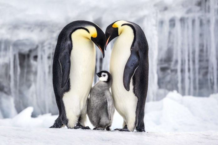 Dwa pingwiny z małym pingiwnem