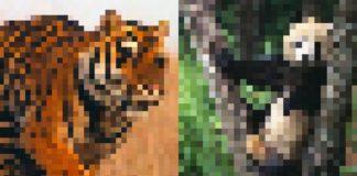 Dwa rozpikselowane zdjęcia tygrysa i pandy