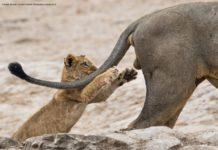 Mały lew bawiący się z dużym lwem