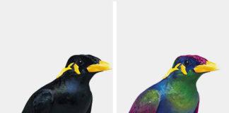 Grafika przedstawiające tego samego ptaka, jak go widzą ludzie, jak ptaki