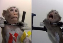 Dwie fotografie pokazujące cierpiącą małpę