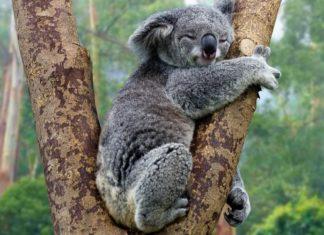 Koala śpiący na drzewie
