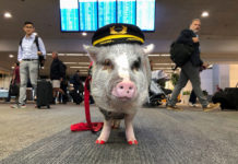 Świnka z pomalowanymi kopytkami i czapką pilota