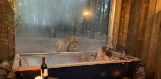 Lew patrzący na kobietę w wannie
