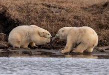 Dwa niedźwiedzie