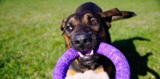 Pies przeciągający zabawkę