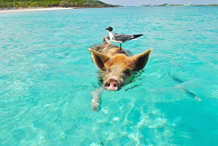 Zdjęcie pływającej świnki wietnamskiej