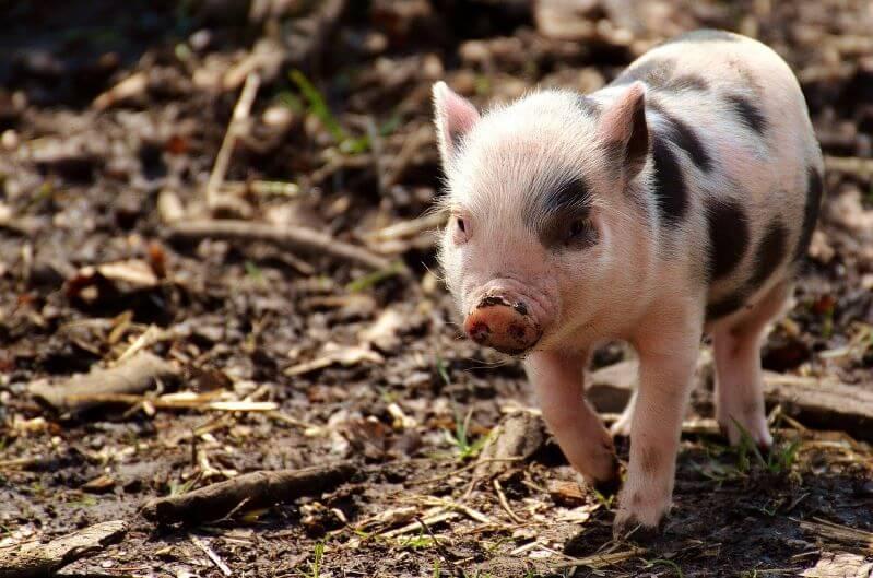 Zdjęcie świnki miniaturki