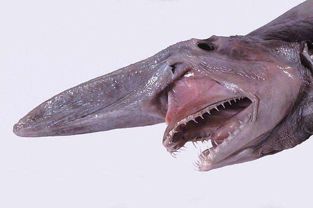 Zdjęcie rekina chochlika z Rowu Mariańskiego