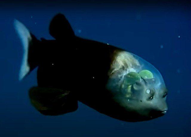 Zdjęcie ryby głębinowej Macropinna microstoma